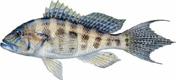 Bank Sea Bass