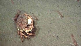Crab with golf ball cancer sp physical characters for Fish food golf balls
