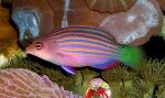 Eight Lined Wrasse1l