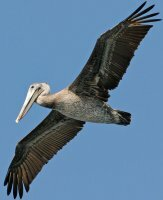 Flying Brown Pelican