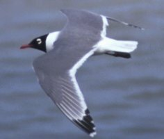 Flying Franklin's Gull