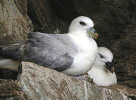 Sea Bird Fulmar