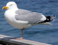 Sea Bird Herring Gull