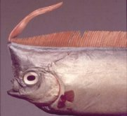Oarfish, Ribbonfish, Oarfish Physical Characteristics