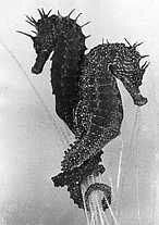 Seahorses Reproducton