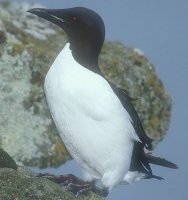 Thick Billed Murre